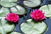 Red Water Lilies