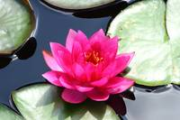 Red Water Lily 2