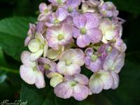 It's All In The Details - Hydrangea