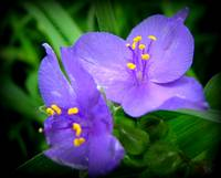 Purple Spiderwort