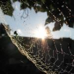 """""""Venusta Orchard Spider 6"""" by flowerchild6482"""