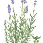 """Lavandula angustifolia"" by kirke"