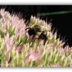 """Sedum with Bee"" by flowerchild6482"