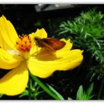 """""""Taking a Sip - Skipper Butterfly"""" by flowerchild6482"""