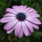 """""""Pink Gerbera"""" by Merlin_Studios"""
