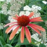 """""""Echinacea 1"""" by dan_simoneau"""