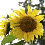"""Sunflower"" by trwphoto"