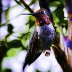 """Hummingbird"" by johncorney"