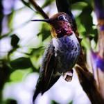 """Hummingbird"" by johncorney"