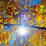 """""""Sunny Yellow Leaves"""" by katbesthorn"""