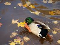 Male mallard duck (funny looking)