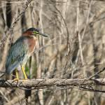 """The Green Heron"" by CKEphotos"