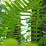"""FERNS in REDWOOD FOREST Green Forests Fern"" by BasleeTroutman"