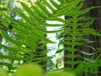 FERNS in REDWOOD FOREST Green Forests Fern
