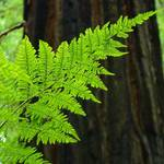 """FERN Art Print Sunlit Redwood Forest Ferns Baslee"" by BasleeTroutman"