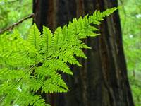 FERN Art Print Sunlit Redwood Forest Ferns Baslee