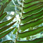 """FERNS Art Prints Green Forest Ferns Baslee Troutma"" by BasleeTroutman"