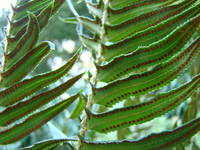 FERNS Art Prints Green Forest Ferns Baslee Troutma