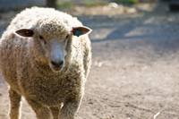 Queens Zoo Sheep