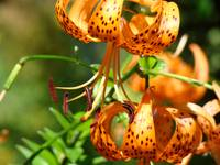 TIGER LILIES Art Orange Tiger Lily Flowers Baslee