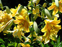 LILIES Yellow Lily Flowers Art Prints Floral Basle