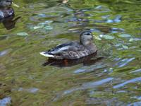 Female mallard duck 4