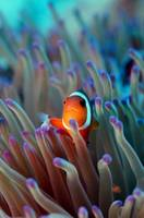 Juvenile False Clown Anemonefish