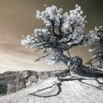 """Bryce Canyon Tree Sculpture - infrared landscape"" by miir"