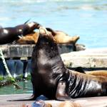"""Mama Sea Lion with Babies"" by sherripaxton"