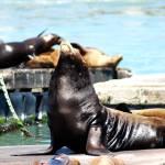 """Mama Sea Lion with Babies"" by sherripaxton"
