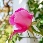 """""""Beautiful Pink Rose"""" by sherripaxton"""
