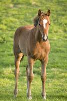 foal in field in county Wexford, Ireland