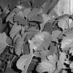 """""""Midnight Vines"""" by lavenderphotography"""