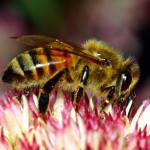"""Honey Bee On Sedum"" by bavosiphotoart"