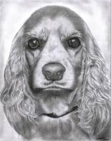 Cocker Spaniel pencil drawing