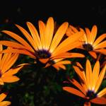 """Orange African Sun Daisies"" by MidiMacroMan"