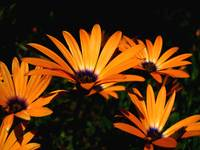 Orange African Sun Daisies