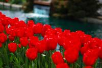Candy Apple Red Tulips with Landscaping Waterfall