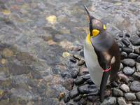 Edinburgh Penguin