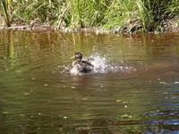 Female mallard duck  (SPLASHING)