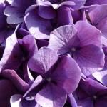 """""""Purple Hydrangea"""" by TravelShotsbyZaralee"""