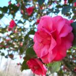 """Pink Camellia"" by charlotteo"