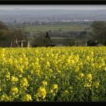 """Rapeseed Field"" by charliebeldon"