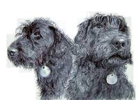 Two Black Labradoodles