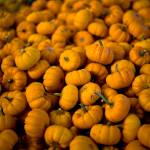 """Many Tiny Pumpkins"" by tomharrisonphotography"