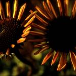 """Coneflower Twins"" by GeovanyRodriguez"