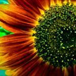 """Sunflower 1"" by GeovanyRodriguez"