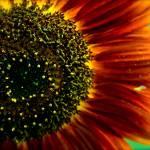 """Sunflower"" by GeovanyRodriguez"