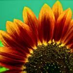 """Sunflower3"" by GeovanyRodriguez"