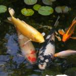 """Koi Family"" by naturephotos"